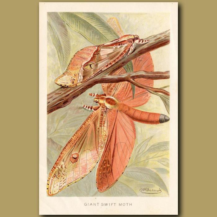 Antique print: Giant Swift Moth