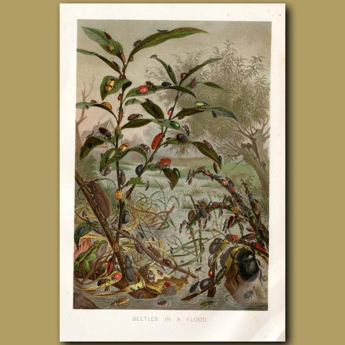 Antique print: Beetles in a flood