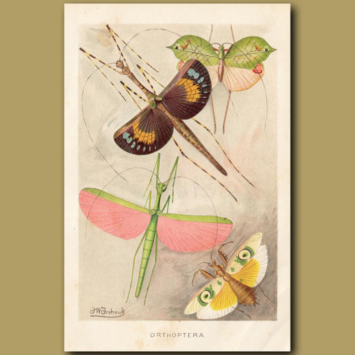 Antique print: Grasshoppers and Crickets (Orthoptera)