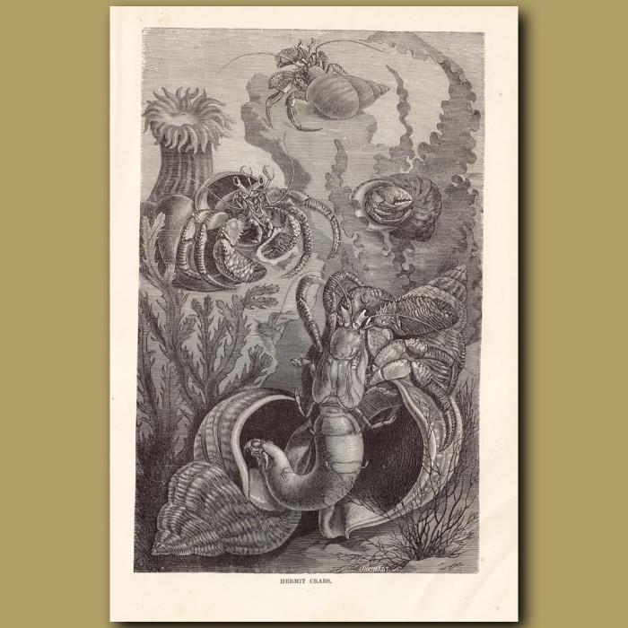 Antique print: Hermit Crabs