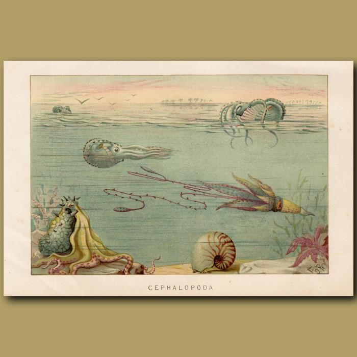 Antique print: Cephalapoda