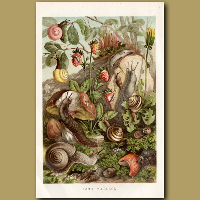 Antique print: Land Molluscs
