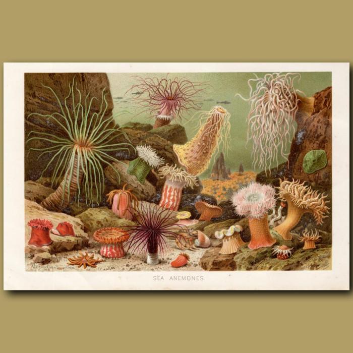 Antique print: Sea Anemones
