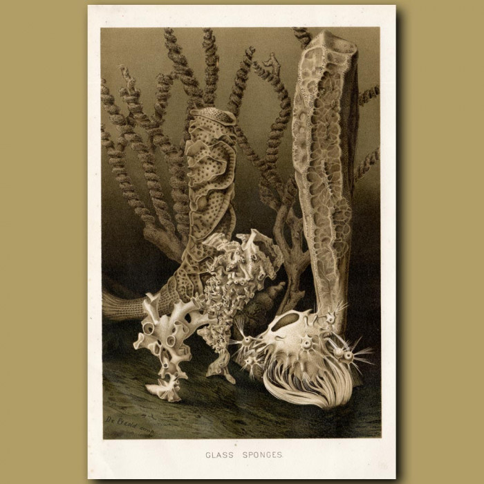 Antique print: Glass Sponges