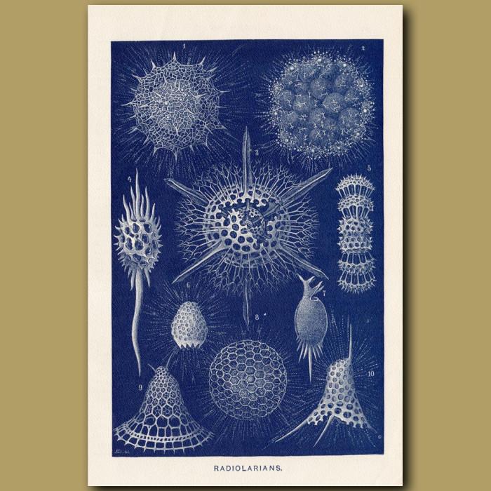 Antique print: Radiolarians