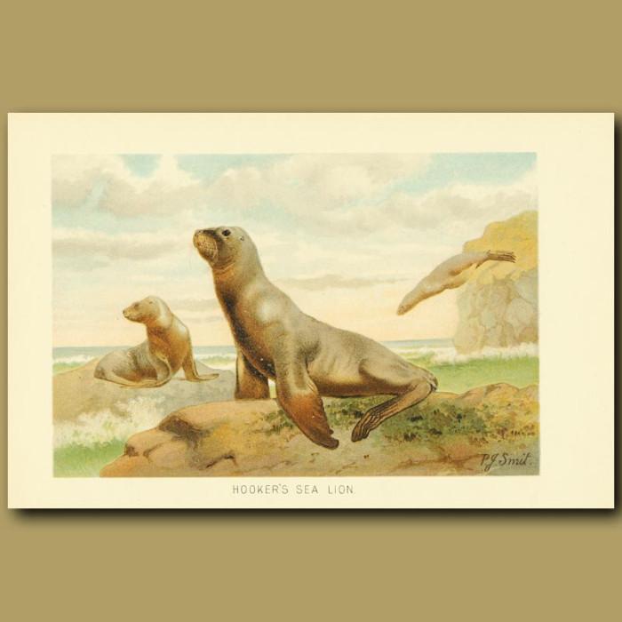 Antique print. Hooker's Sea Lion