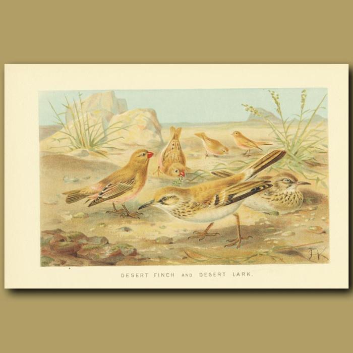 Antique print. Desert Finch and Desert Lark