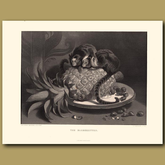 Antique print. Marmozettes, or Brazilian Monkeys
