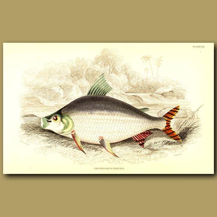 Antique print. Flagtail prochilodus