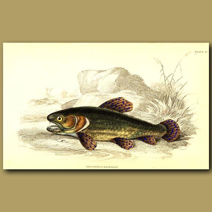 Antique print. Tiger Fish