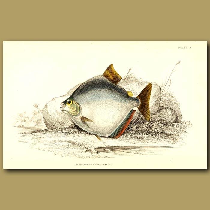 Antique print. Piranha