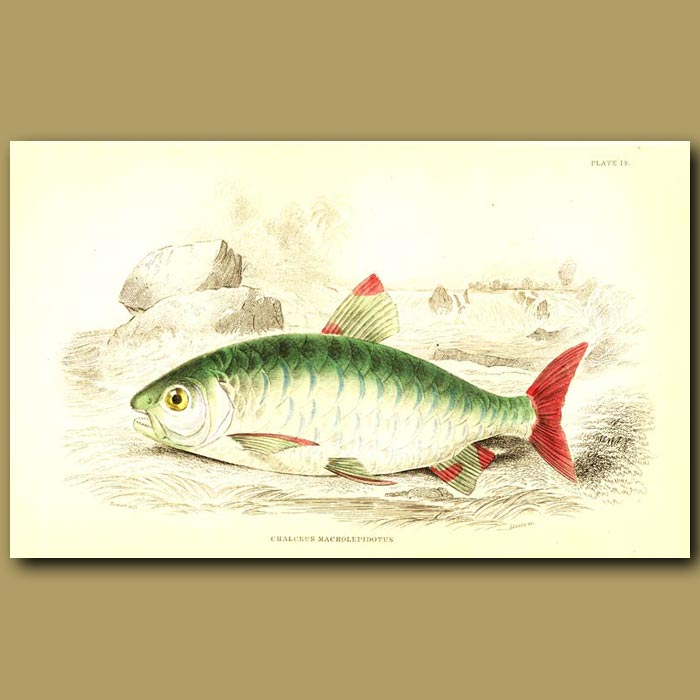 Antique print. Pink-tailed Chalceus