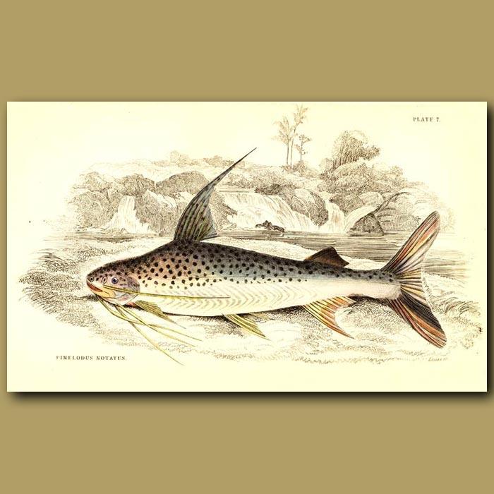Antique print. Cat fish