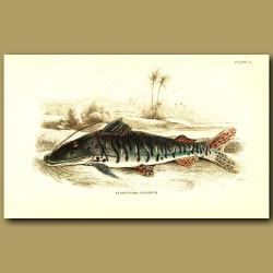 Armoured Tiger Cat Fish