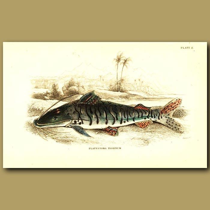 Antique print. Armoured Tiger Cat Fish