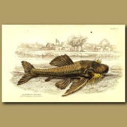 Armored catfish