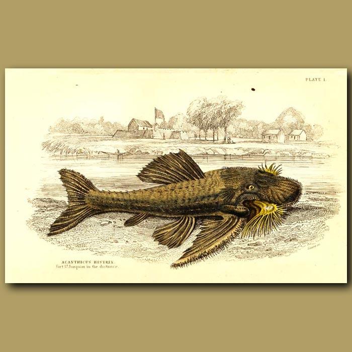 Antique print. Armored catfish