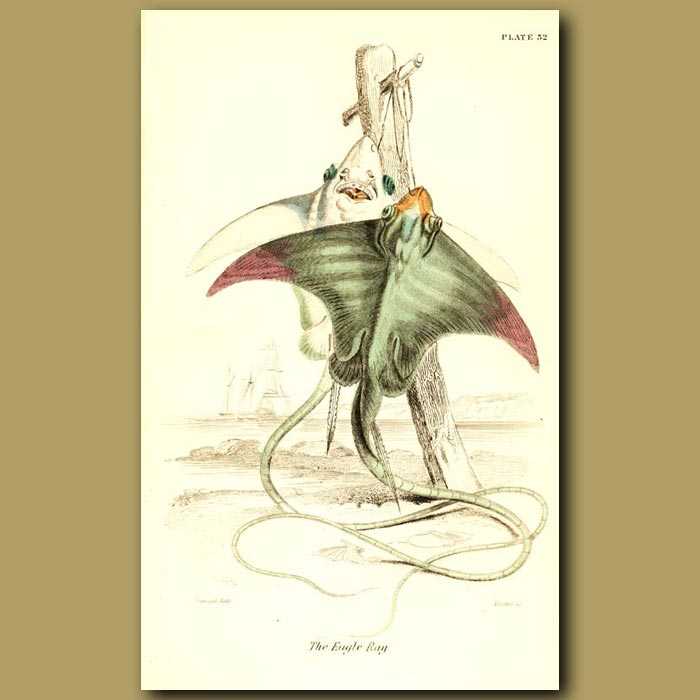 Antique print. The Eagle Ray