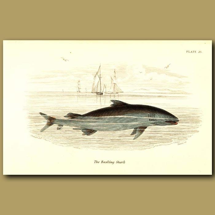 Antique print. The Basking Shark