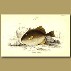 European File Fish (Triggerfish)