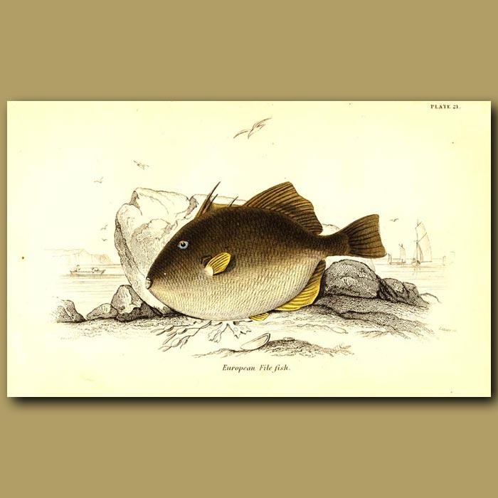 Antique print. European File Fish (Triggerfish)