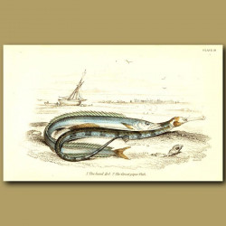 The Sand Eel and The Great Piper Fish