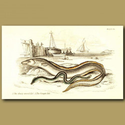 The Sharp-nosed Eel and the Conger Eel