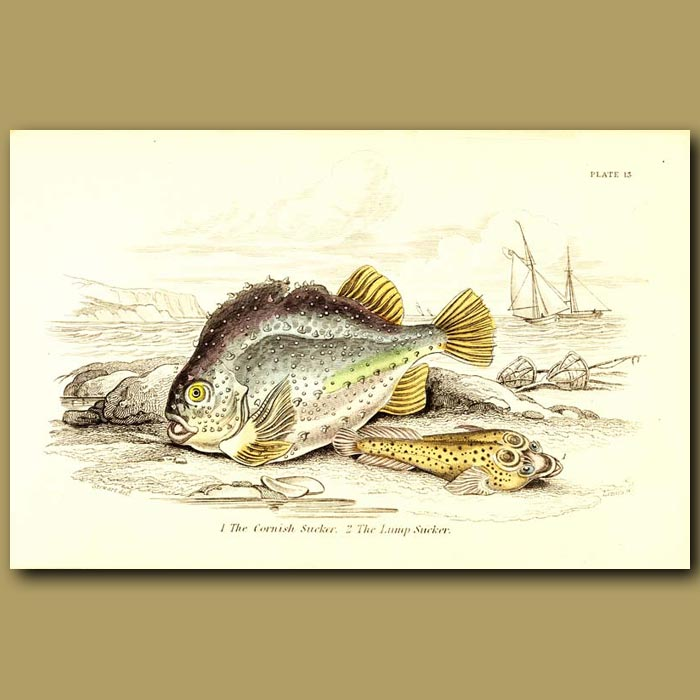 Antique print. The Cornish Sucker and The Lump Sucker
