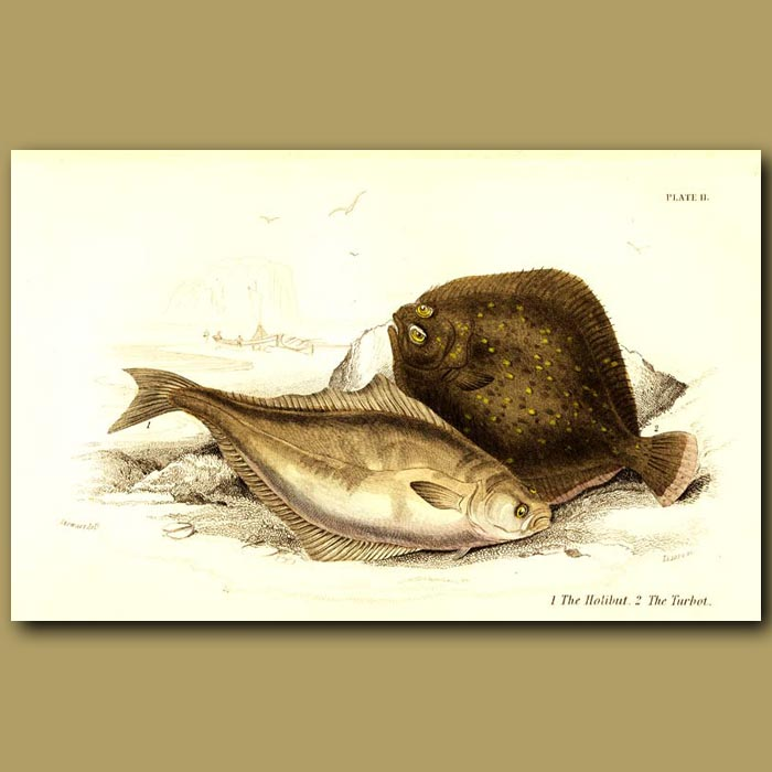 Antique print. The Halibut and The Turbot