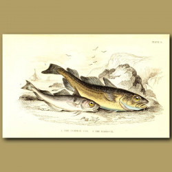 The Common Cod and The Haddock