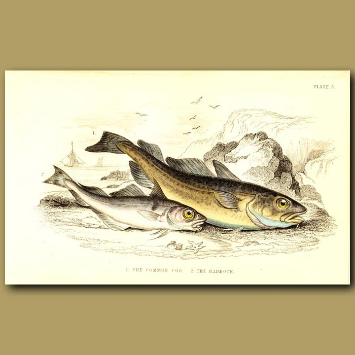 Antique print. The Common Cod and The Haddock