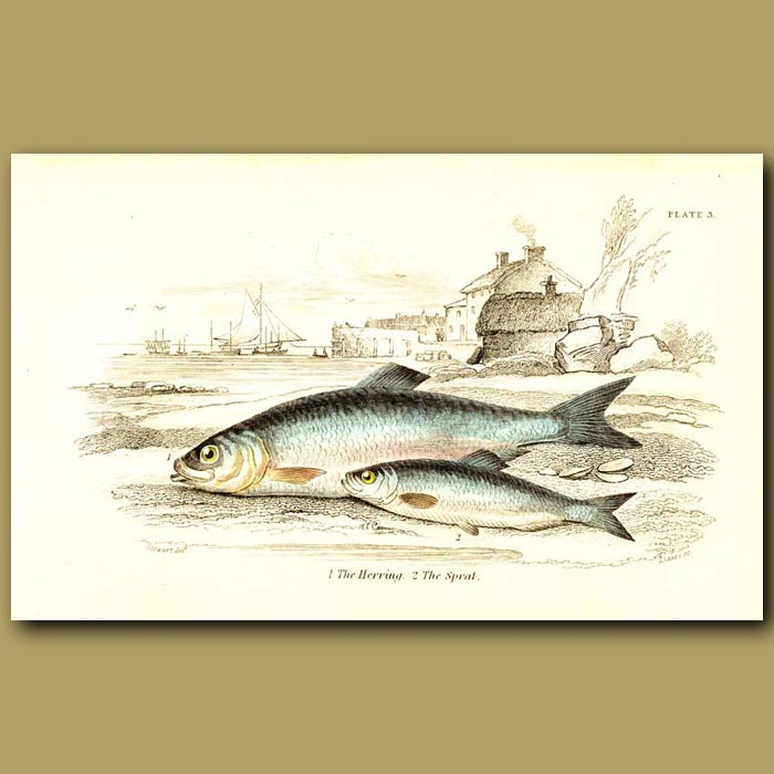 Antique print. The Herring and The Sprat
