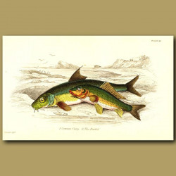 Common Carp and The Barbel