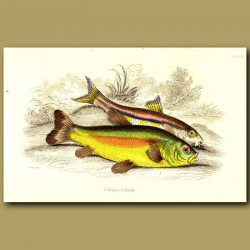 Gudgeon and Tench