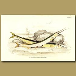 The Garfish and The Saury Pike