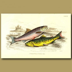 Common trout and Northern Char