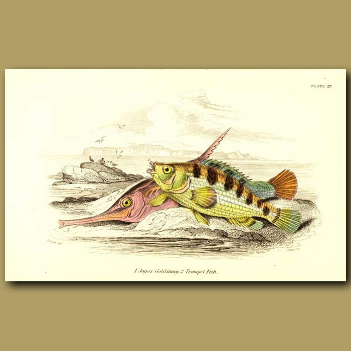 Antique print. Jagos Goldsinny and Trumpet Fish