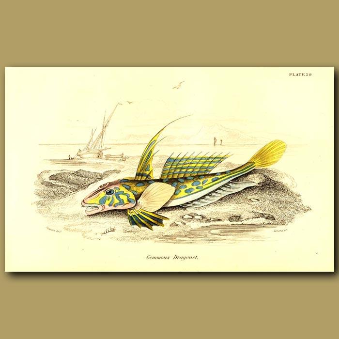 Antique print. Gemmous Dragonet