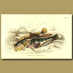 Butterfly Fish and Gattoruginous Blenny