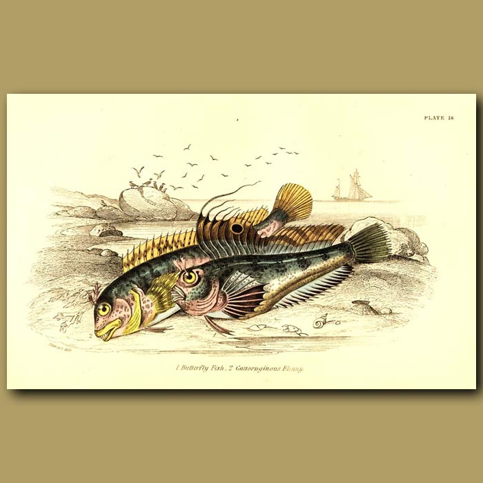 Antique print. Butterfly Fish and Gattoruginous Blenny