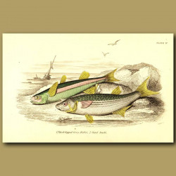 Thick-lipped Grey Mullet and Sand Smelt