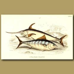 Plain Bonito and Sword Fish