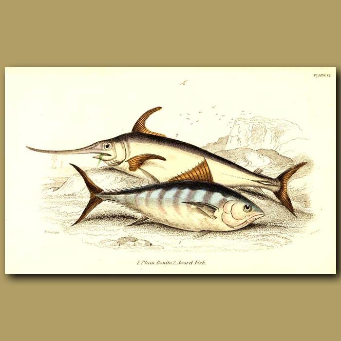 Antique print. Plain Bonito and Sword Fish