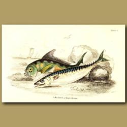 Mackerel and Ray's Bream