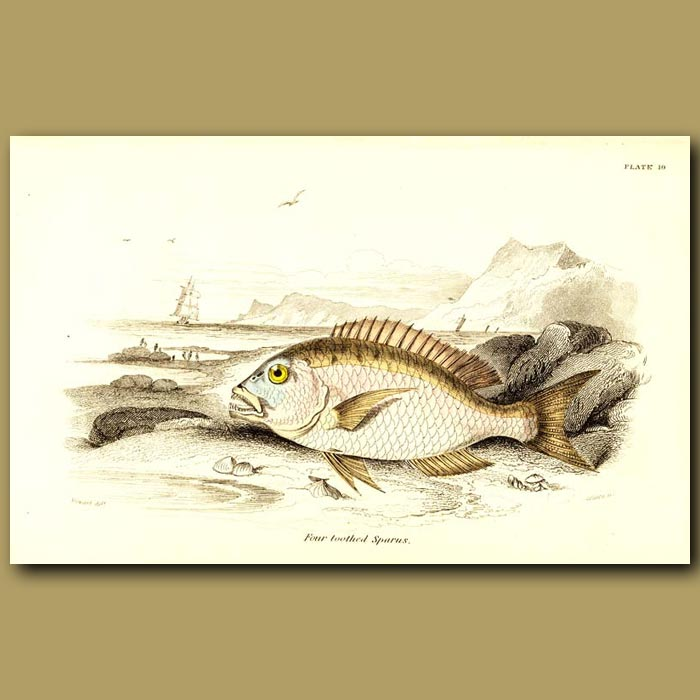 Antique print. Four-toothed Sparus