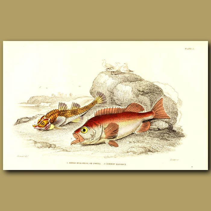 Antique print. Armed Bull-Head and Norway Haddock