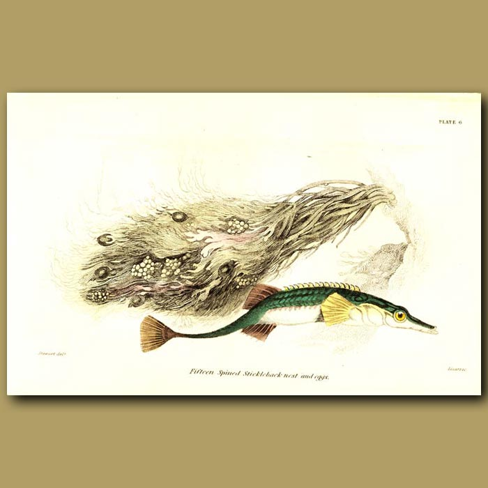 Antique print. Fifteen spined Stickleback nest and eggs