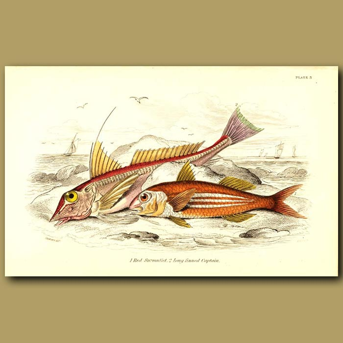 Antique print. Red Surmullet and Long Finned Captain