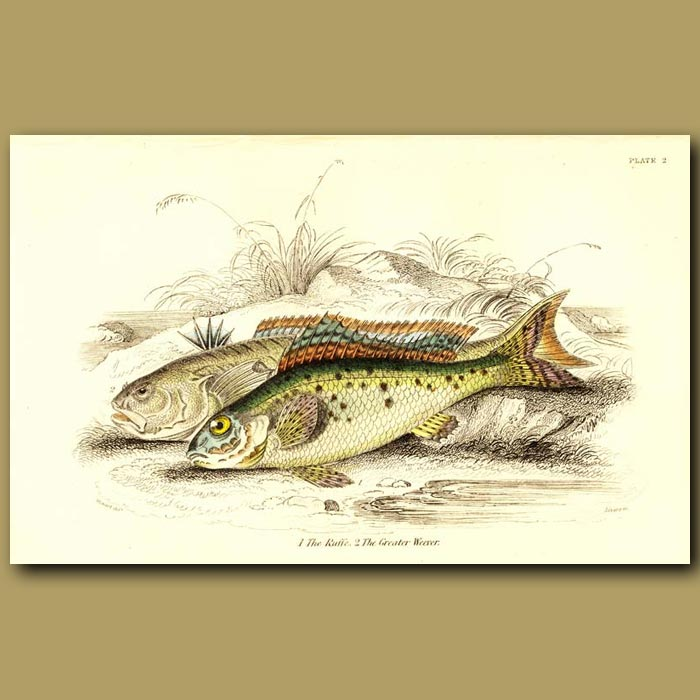 Antique print. The Ruffe and The Greater Weever