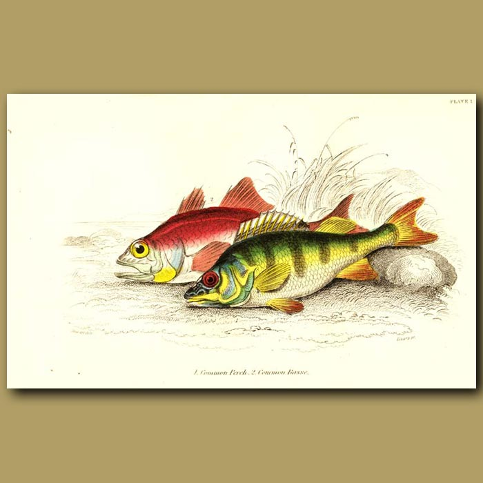 Antique print. Common Perch and Common Basse